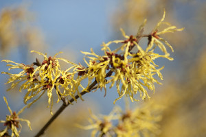 What is witch hazel?