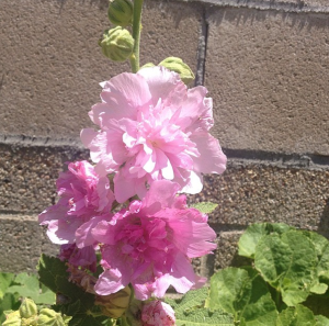 My hollyhock plants in bloom